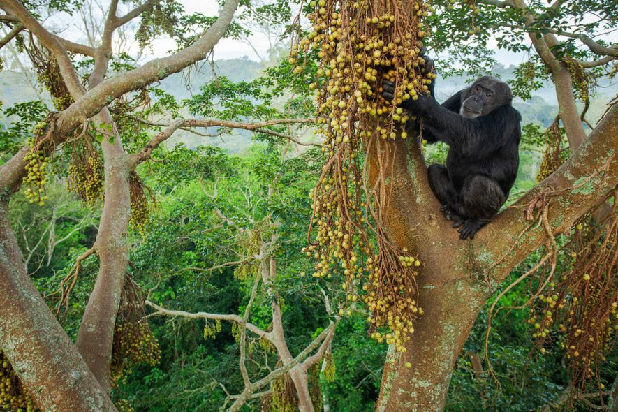 High in the canopy of good continuous forest, chimps can move safely through the trees from ...