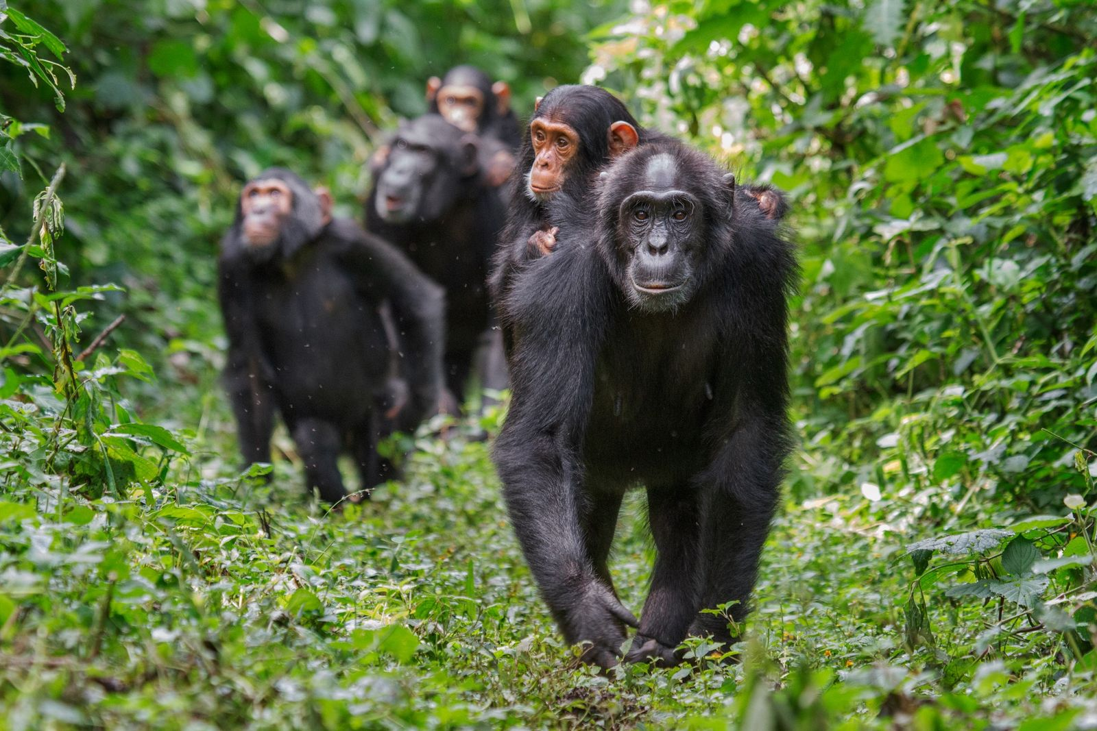 Chimps in good forest habitat—such as these in Kibale National Park, long studied by Richard Wrangham ...