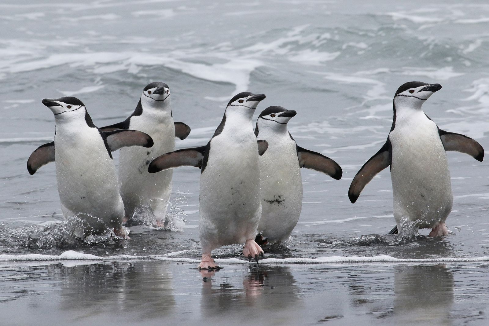 Chinstrap penguins return to their colony at Stinker Point, on the west coast of Elephant Island. ...