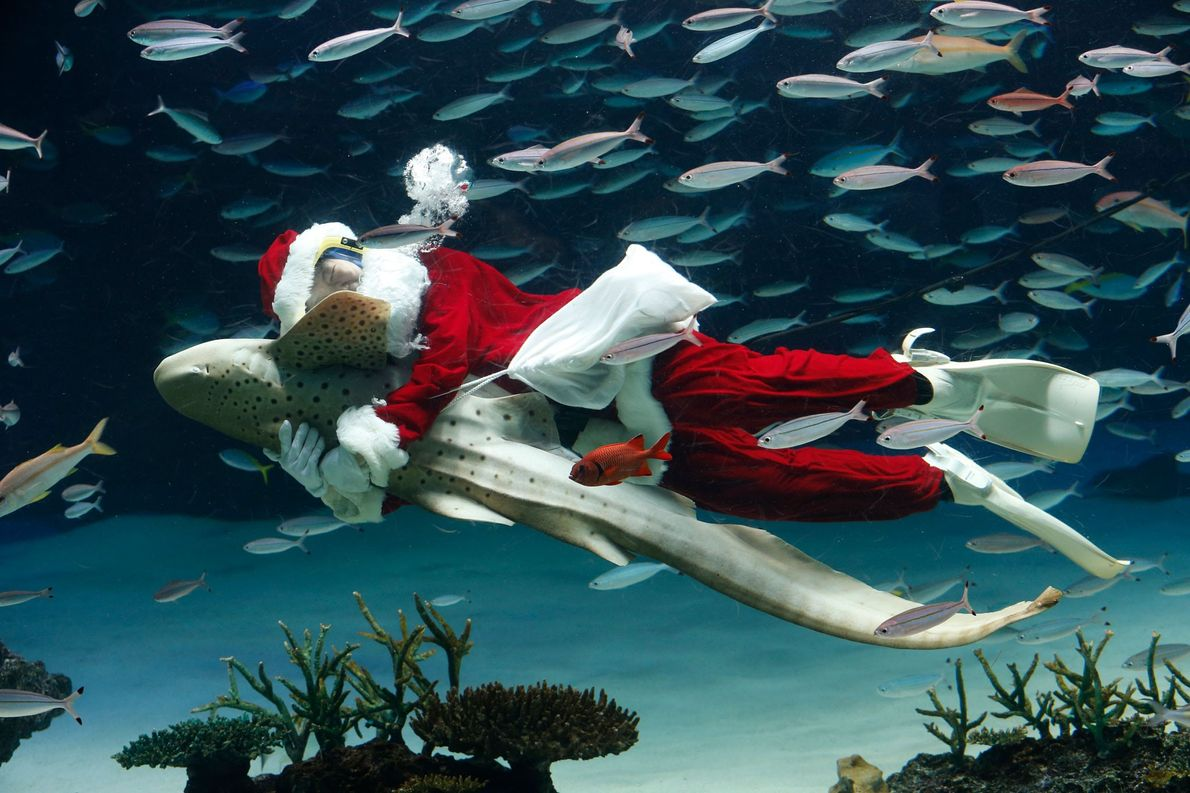 A diver embraces a zebra shark during the Sunshine Aquarium's annual Santa Dive performance in Japan ...