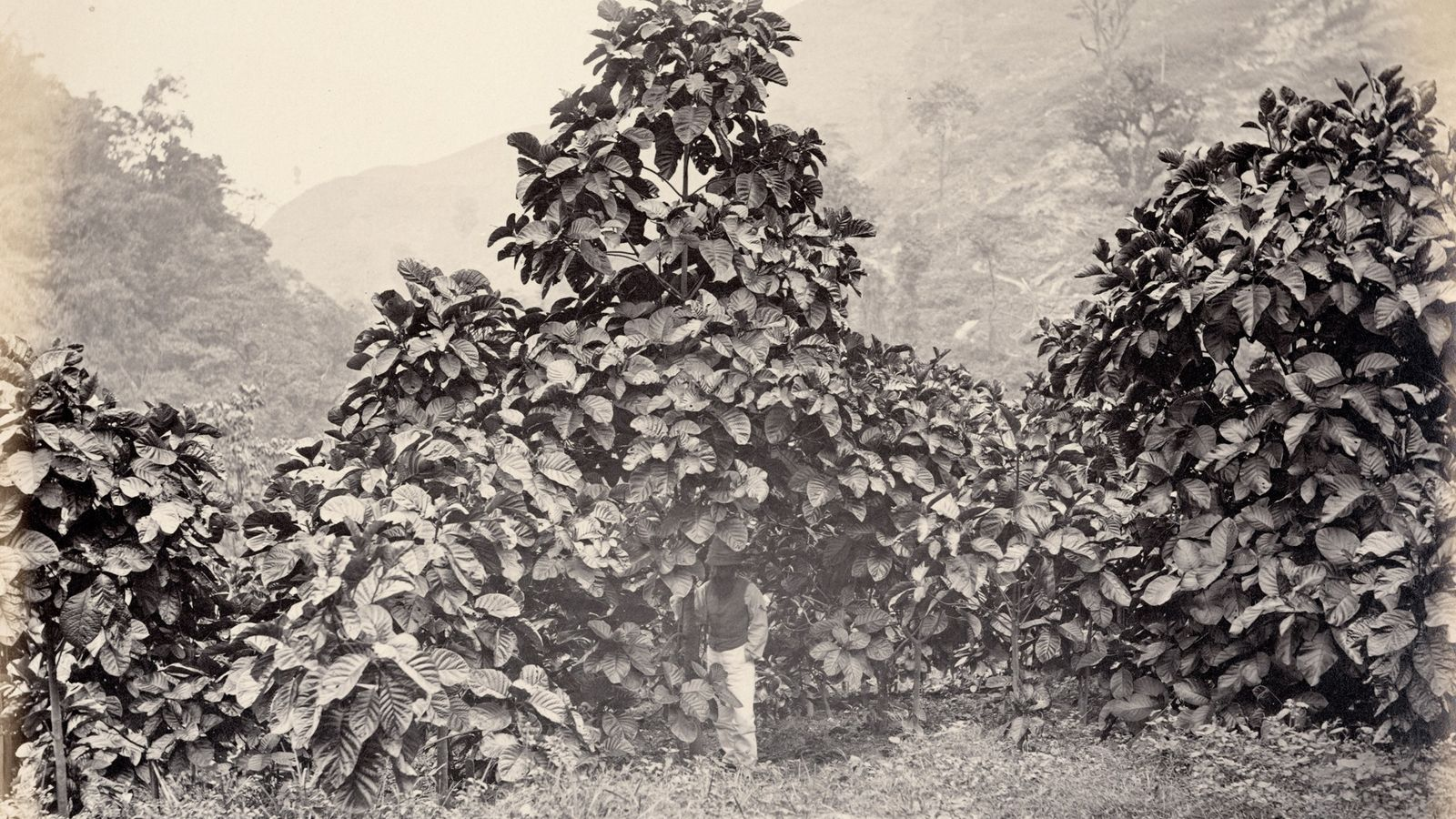 Cinchona succirubra, a variety of quina tree also known as Cinchona pubescens, on a government plantation in ...