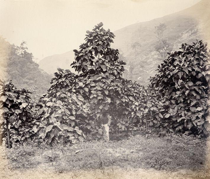 Cinchona succirubra, a variety of quina tree also known asCinchona pubescens, on a government plantation in ...