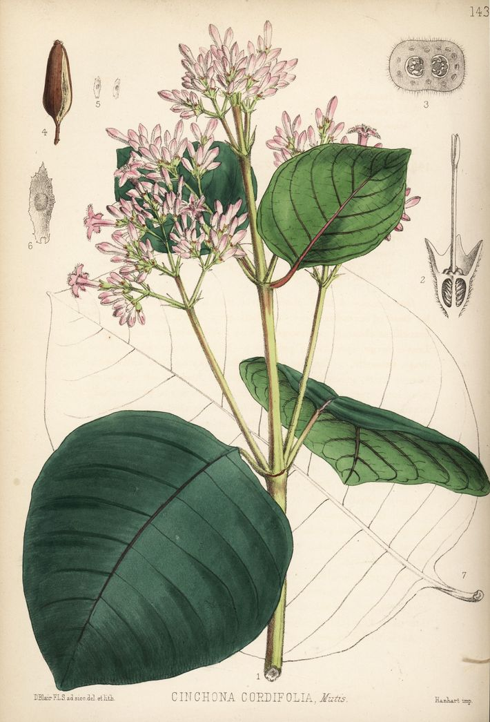 Red cinchona (Cinchona pubescens; also known as Cinchona cordifolia) produces quinine, the antimalarial compound behind chloroquine ...