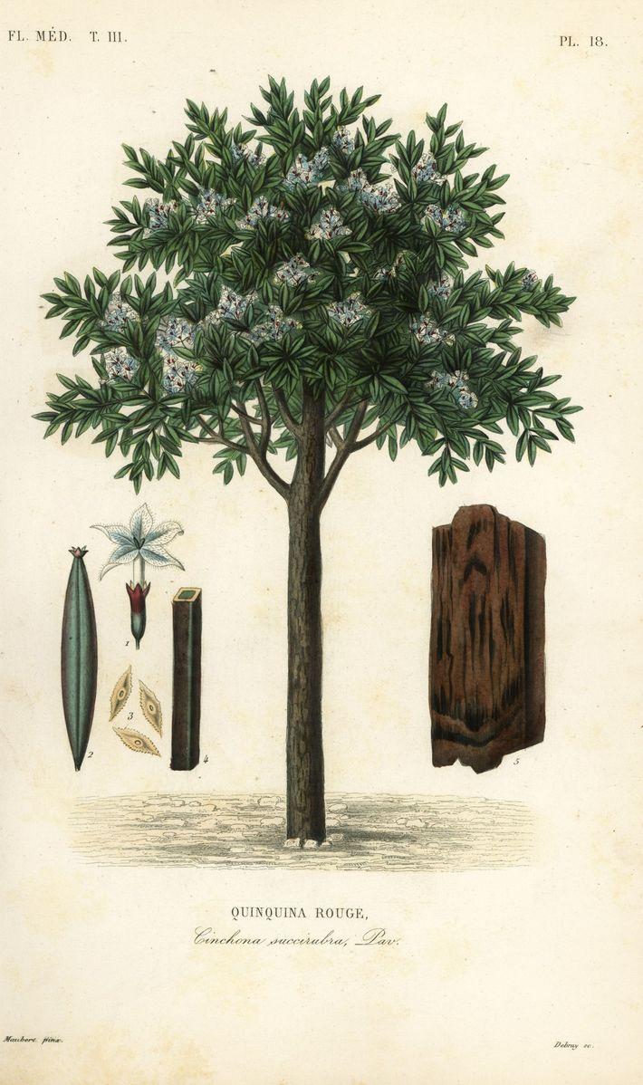 Quinine tree (Cinchona pubescens; also known as Cinchona succirubra). Hand-colored steel engraving by Debray after a ...