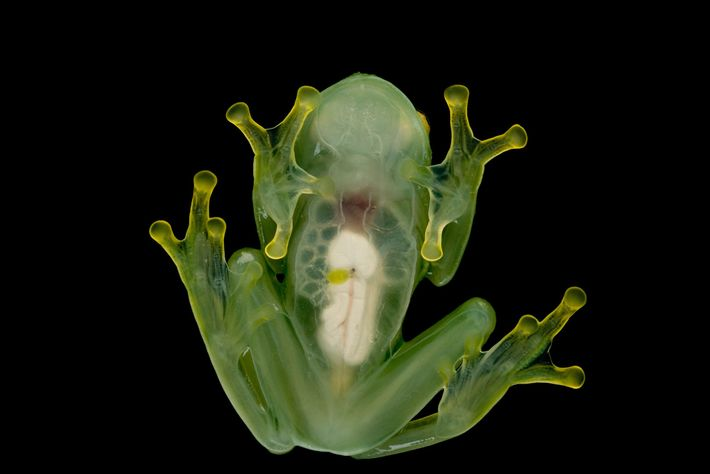 Glass frogs, so named because of their transparent skin, are regularly traded as pets, particularly in ...