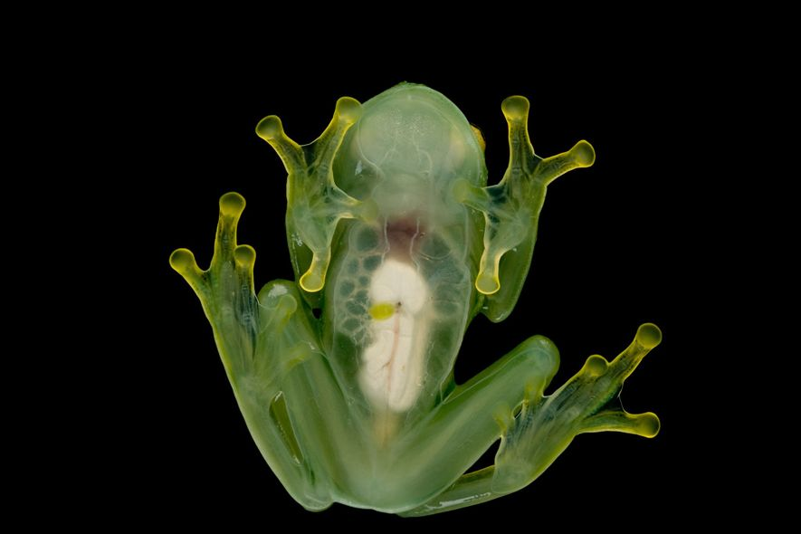 Glass frogs, so named because of their transparent skin, are regularly traded as pets, particularly in the United States and Europe.
