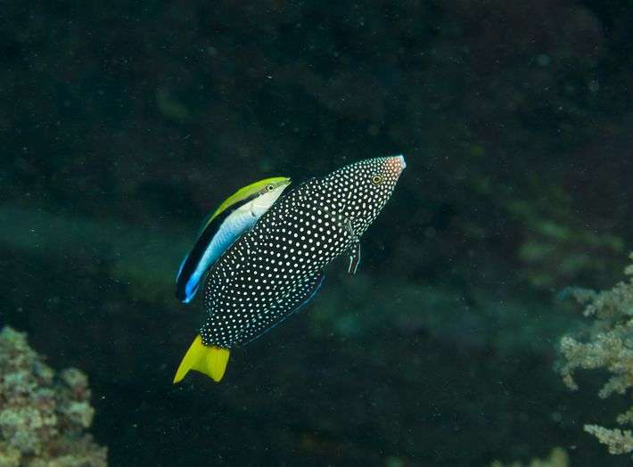 Cleaner wrasse were already known to be intelligent for their size, establishing symbiotic relationships with others ...