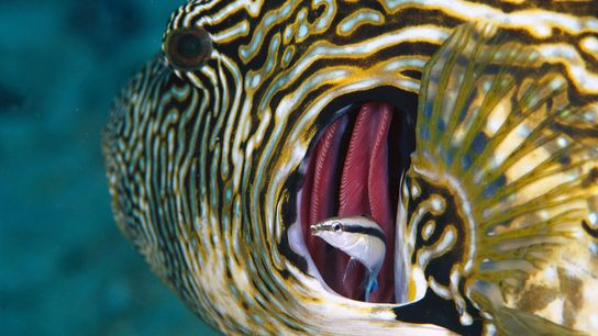 Cleaner wrasse (Labroides dimidiatus) may have the ability to recognise themselves in a mirror, which raises ...
