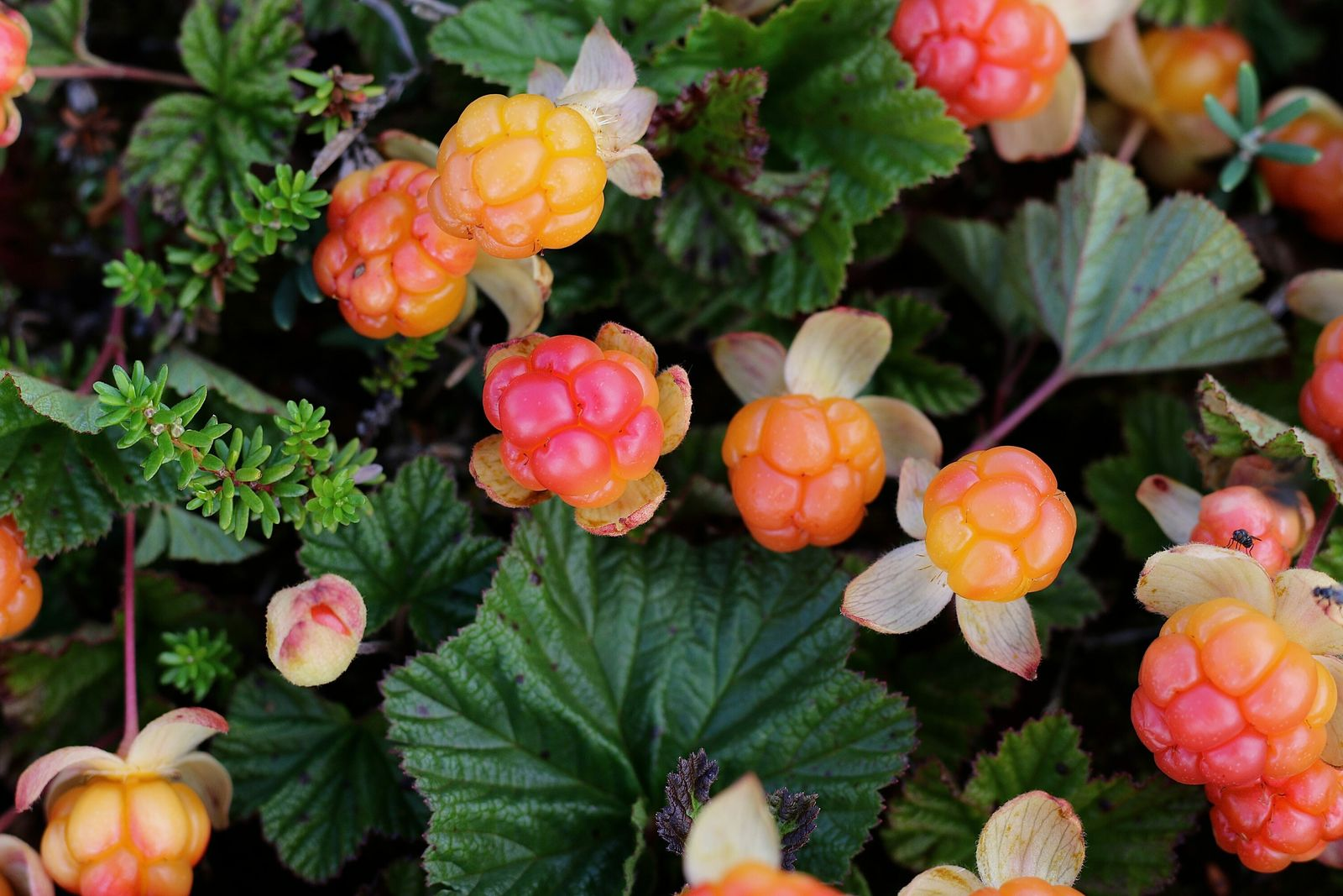 A cloudberry isthe size of a raspberry but less sweet and has all the thick, syrupy ...