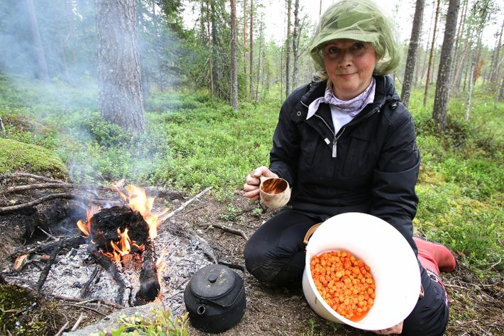 Ranua in Finnish Lapland offers the best cloudberry swamps in the country, but finding the right ...