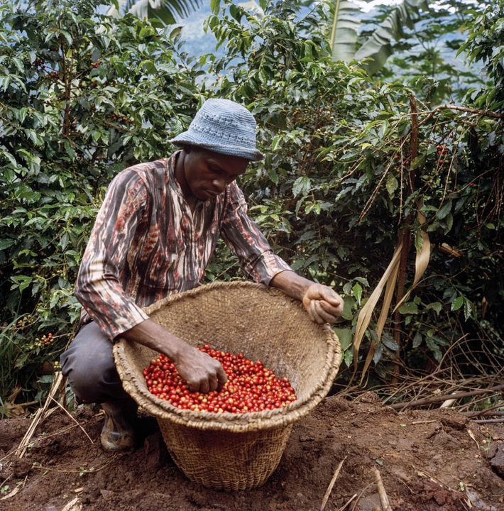The higher quality of fuller, redder coffee cherries fetches the best price at market, so farmers ...