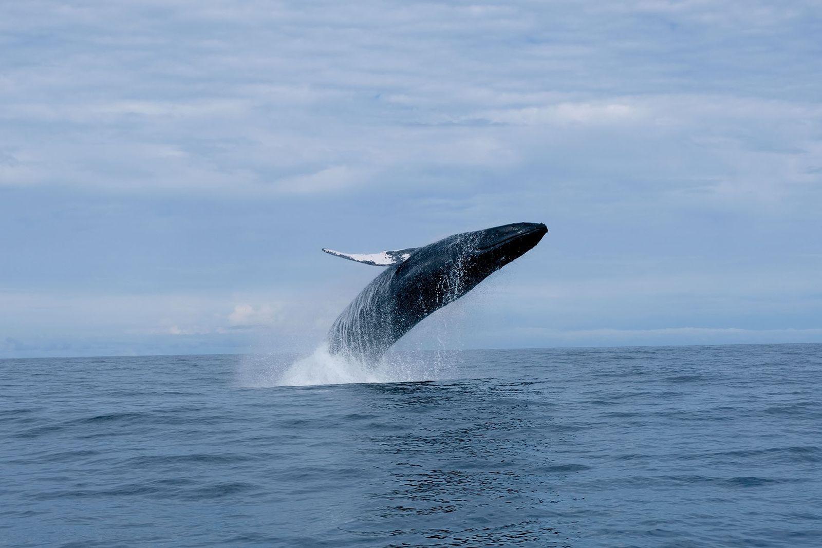 A humpback whale breaches near El Almejal beach