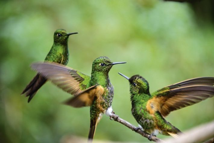 Hummingbirds in the Cocora Valley, Colombia
