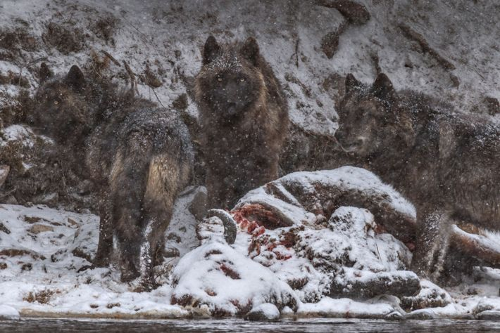 The carcass of a bison that drowned in the Yellowstone River became a feast for this ...
