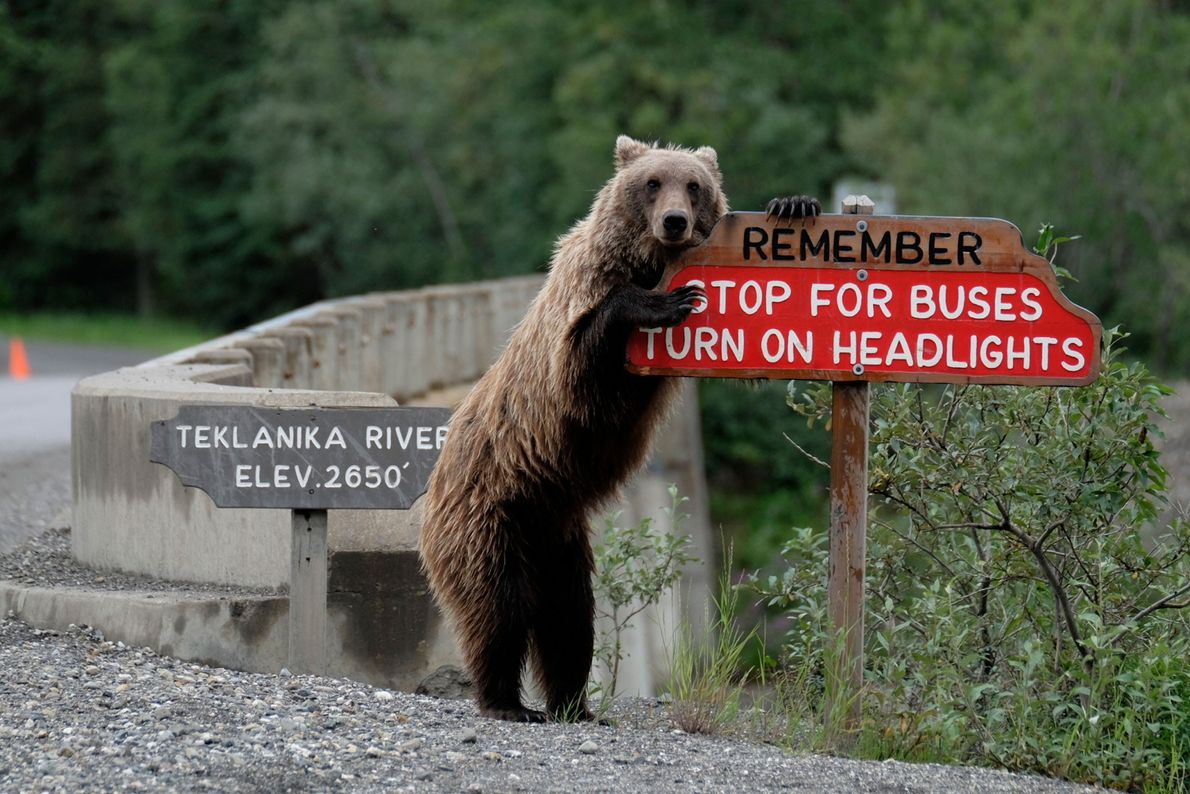 A grizzly bear in Alaska looks out for the safety of oncoming drivers.