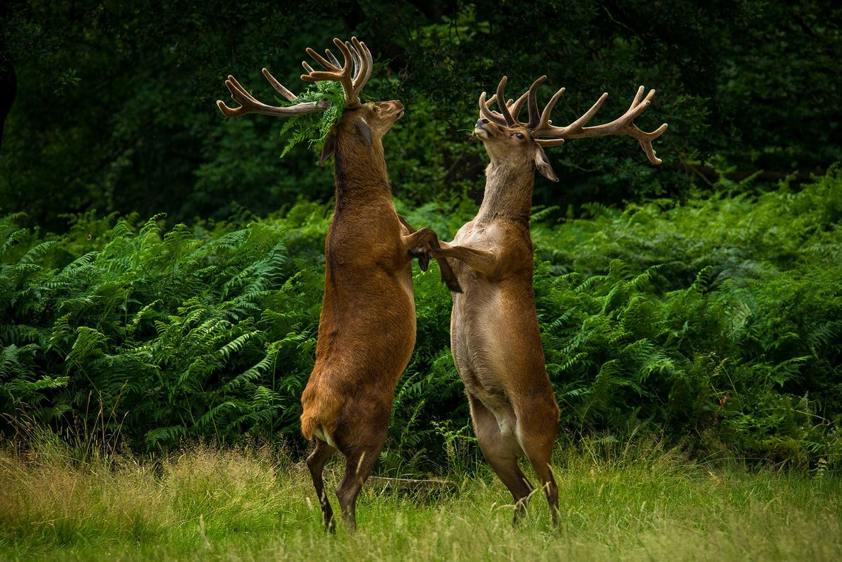 You lookin' at me? A pair of deer are caught in a standoff in Richmond Park, ...