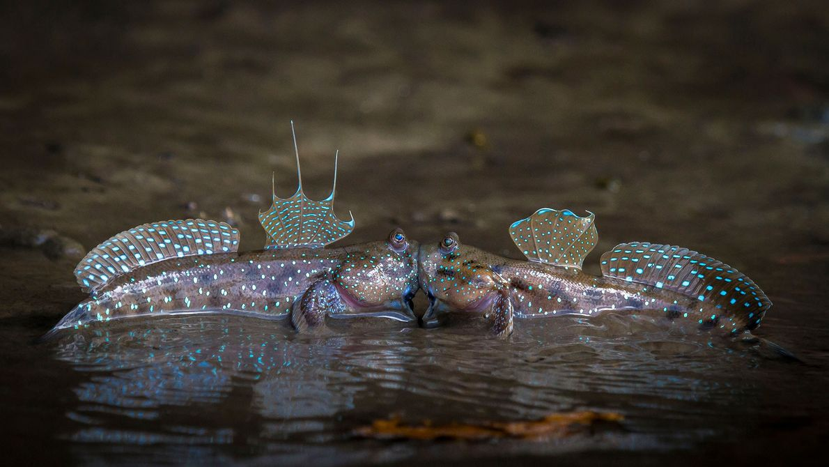 Caught in the act: Two mudskippers in Krabi, Thailand share an intimate moment.