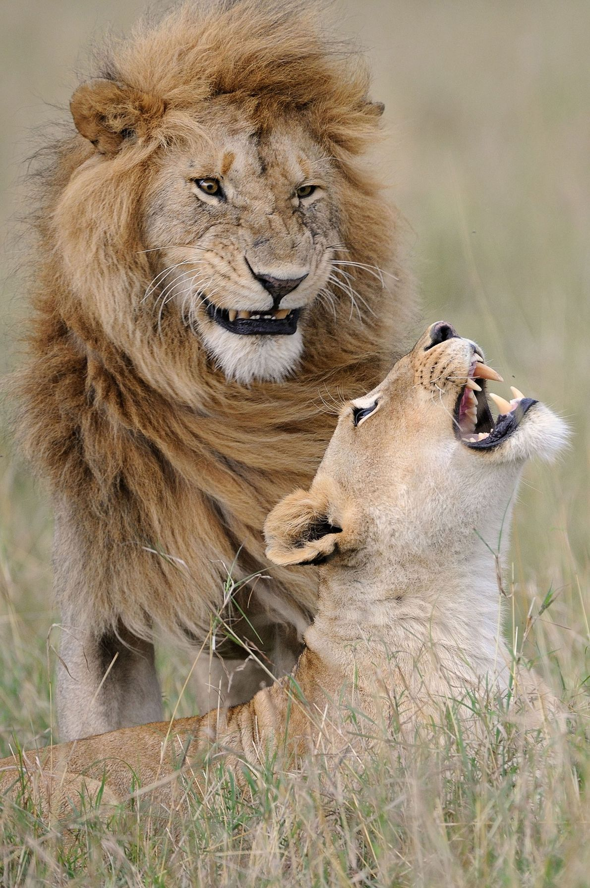 """After all these years he still makes me laugh,"" says one lioness in Maasai Mara, Kenya."
