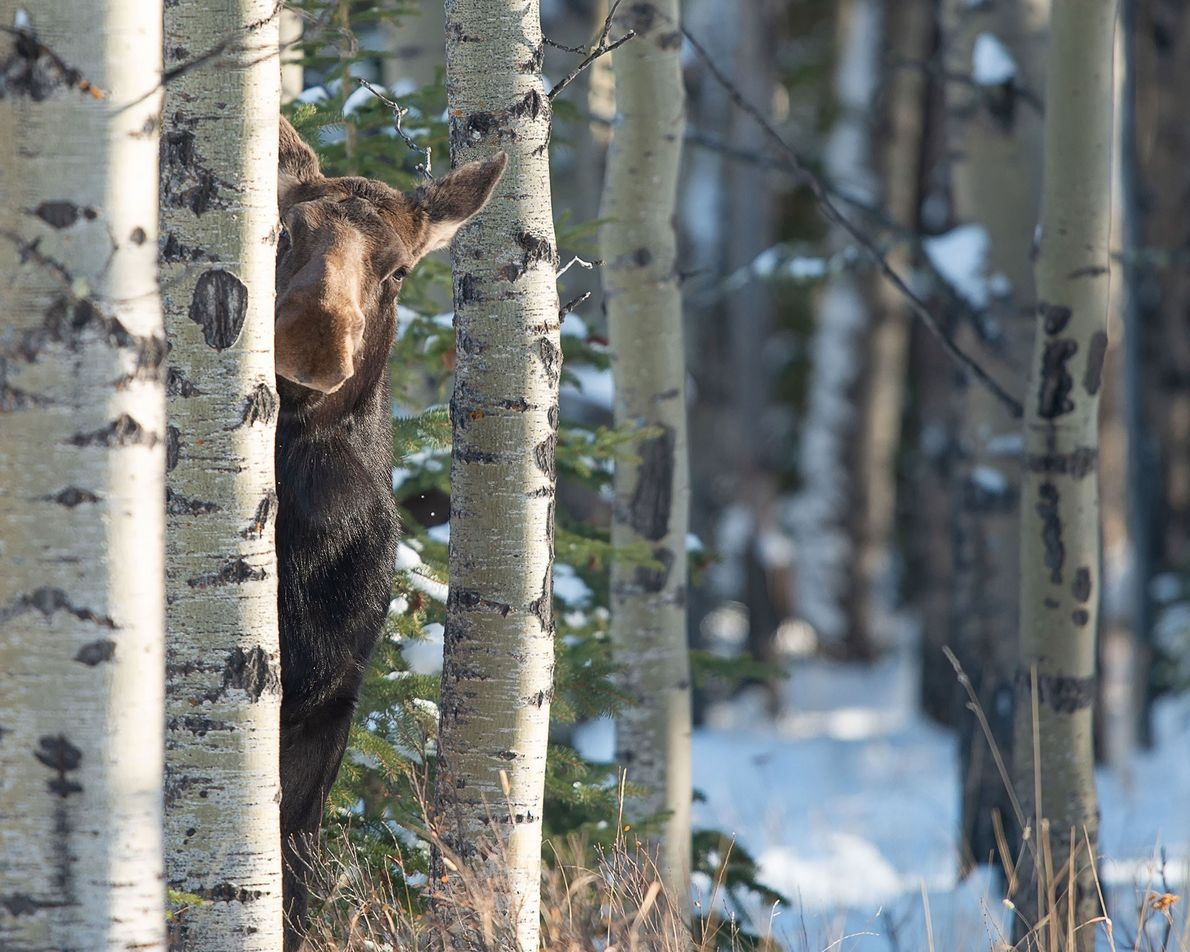 Master of disguise: A sneaky female moose peers from behind a tree in Alberta, Canada.