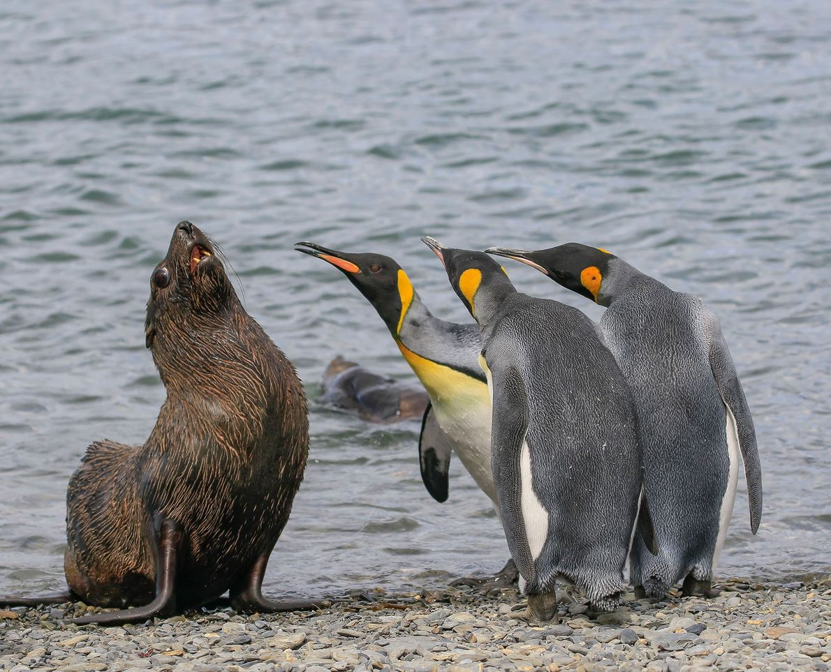 It wasn't me, I swear! These king penguins were obviously not thrilled with the presence of ...