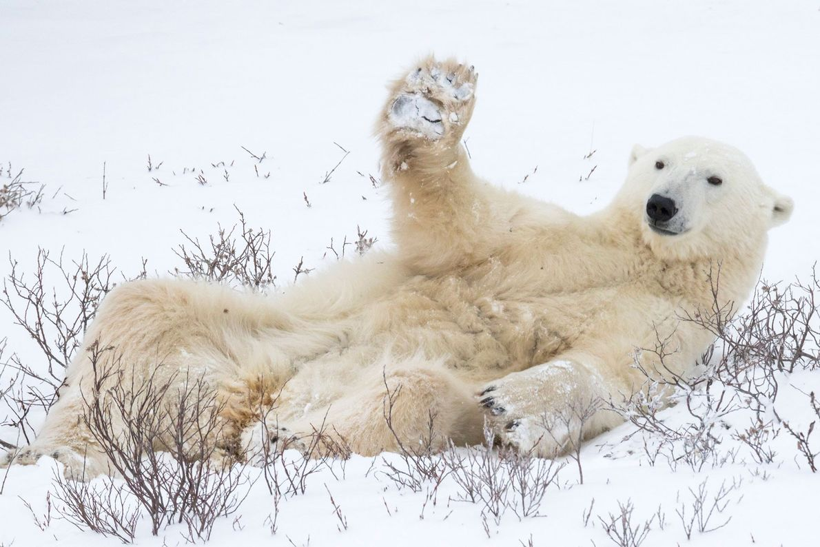 Just smile and wave, boys. A polar bear lifts its paw in what appears to be ...