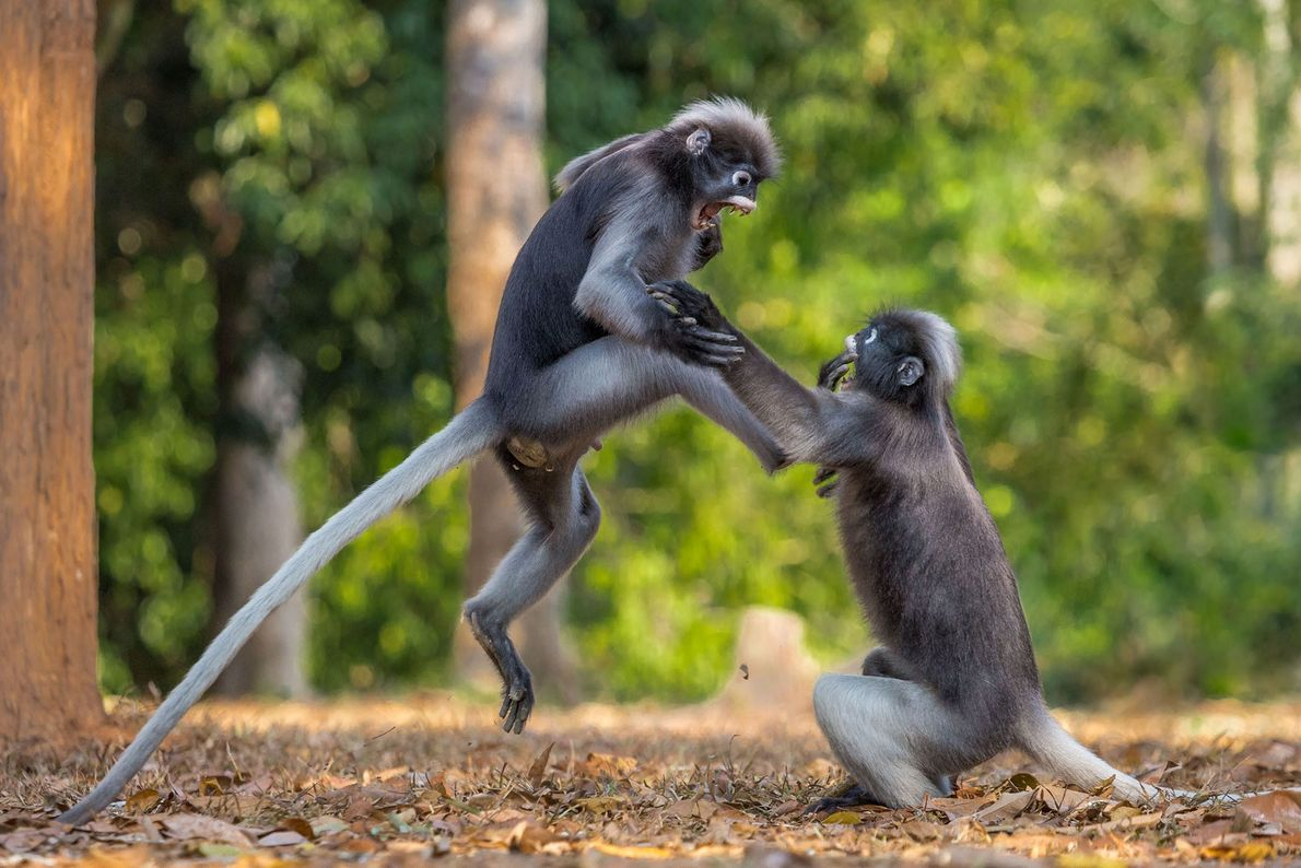 She liked me first! Two gibbons in Kaeng Krachan, Thailand, are locked in epic battle.