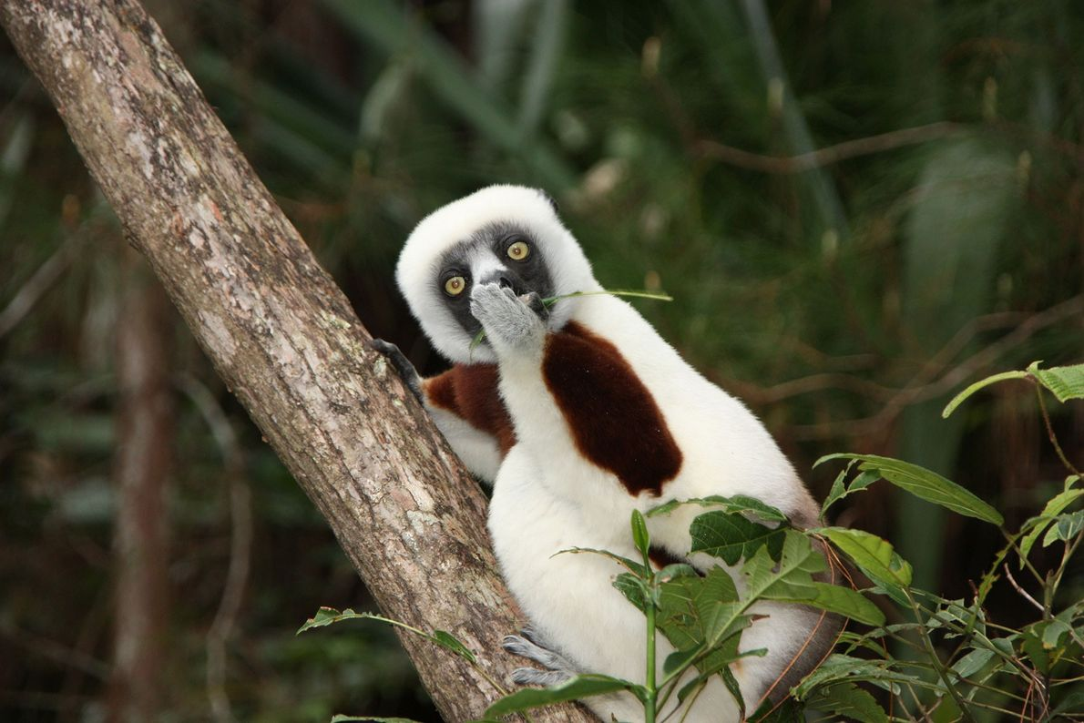 Wait, they said what? This sifaka lemur in Madagascar has a secret.