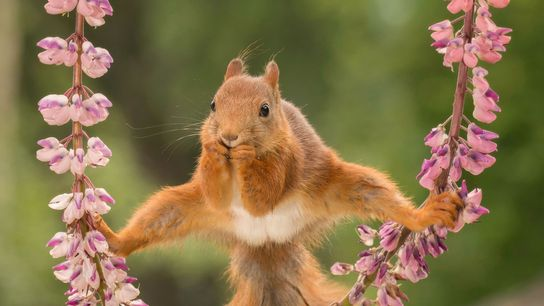 Years of gymnastics lessons finally paid off for one red squirrel in Sweden.