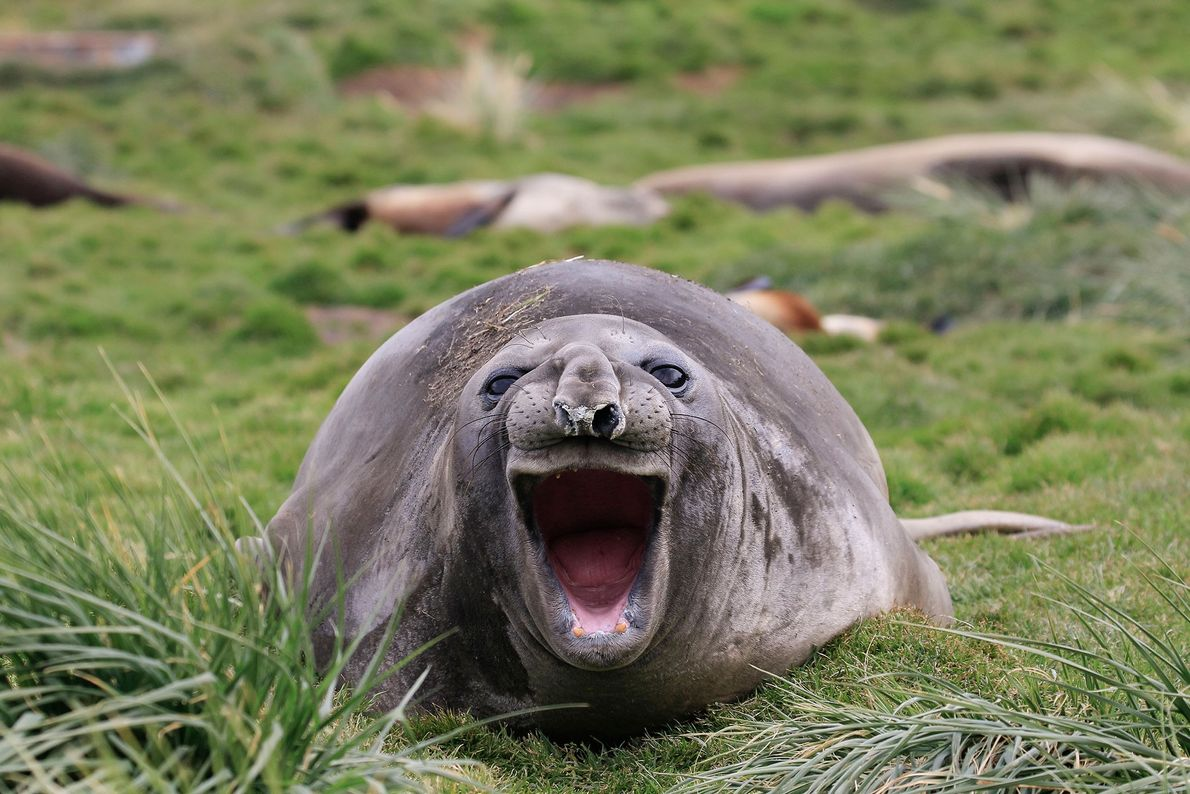 A seal in South Georgia thinks all these photos are pretty funny, too.