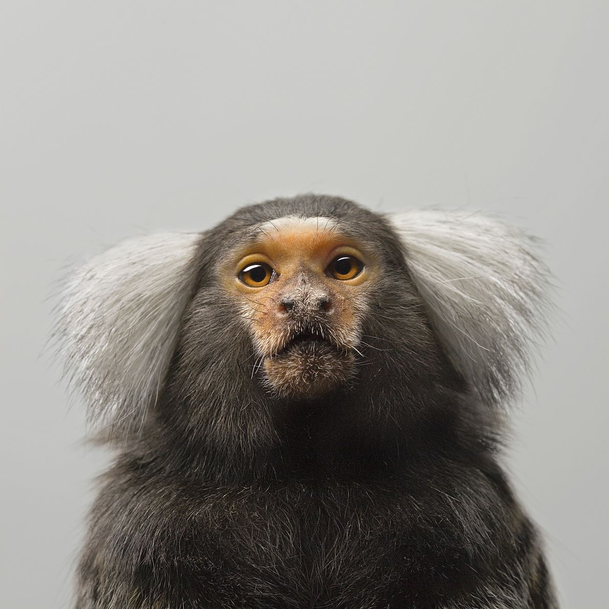 In the wild, marmosets, a type of monkey found in South America, are highly cooperative. They ...