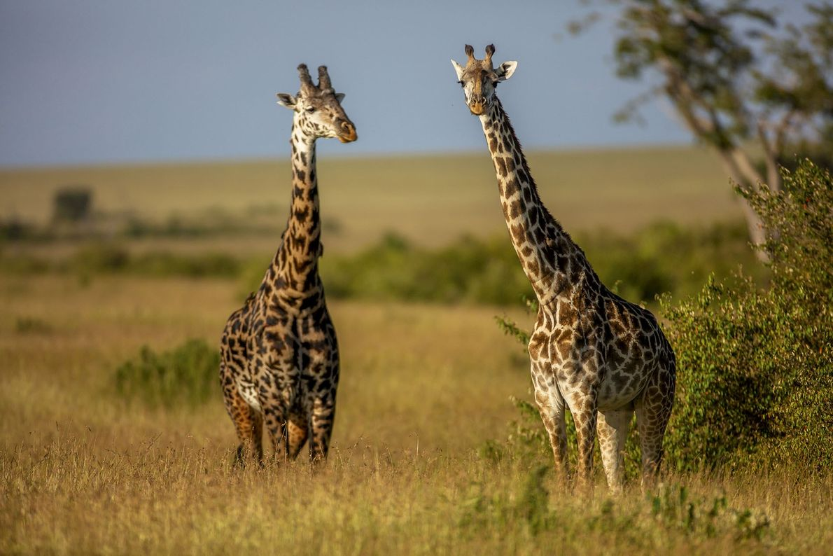 Win a six-night safari in the Maasai Mara