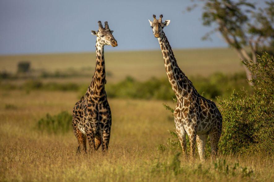 Win a six-night safari in the Maasai Mara