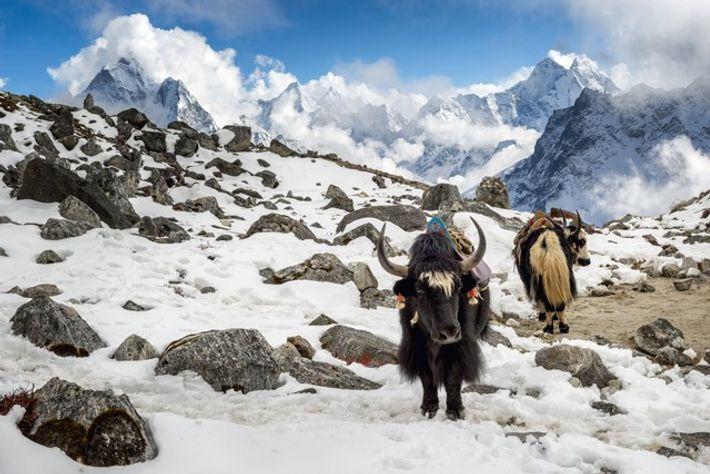 Yaks, Lobuche, Everest Region, Nepal