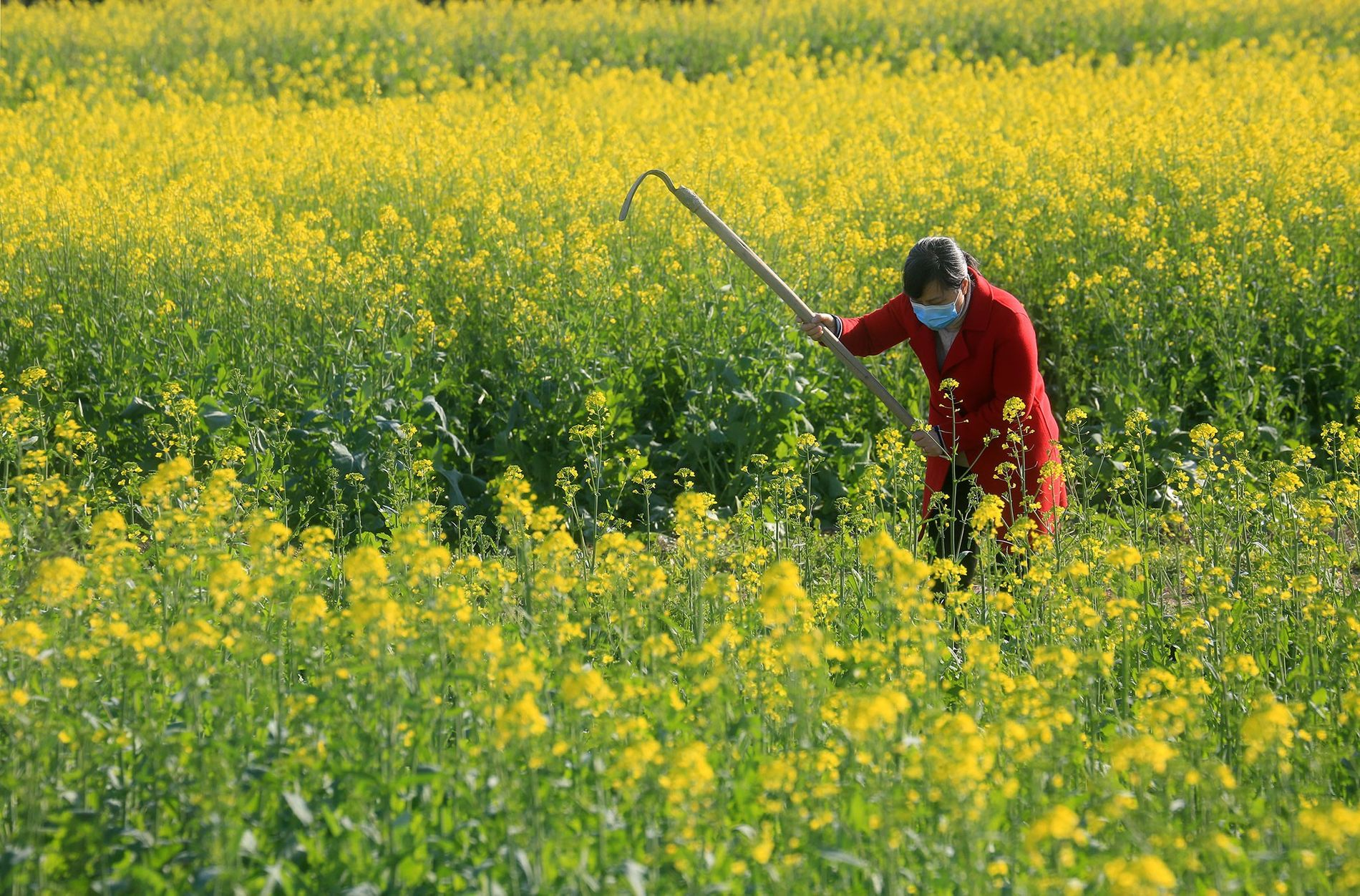 Working amid global coronavirus fears, a villager labours in a field in China's Jiangxi Provence on ...