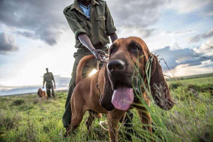 Christopher Lengini trains a bloodhound named Warrior to assist Loisaba's 70 rangers in their anti-poaching work, ...