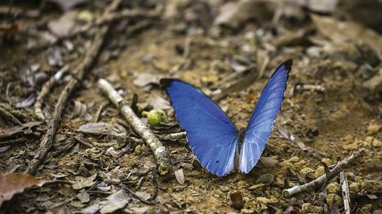 Morpho butterfly, Caminos de Osa.