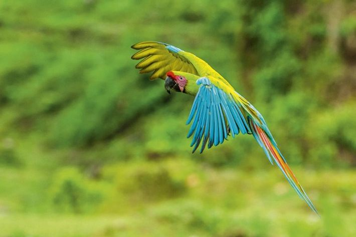 A parrot flies through the rainforest.
