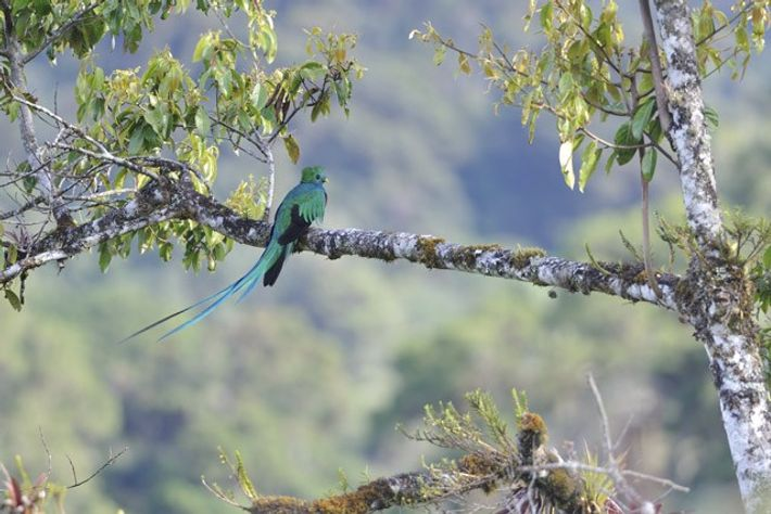 Quetzal perched on the branch of an aguacatillo tree.