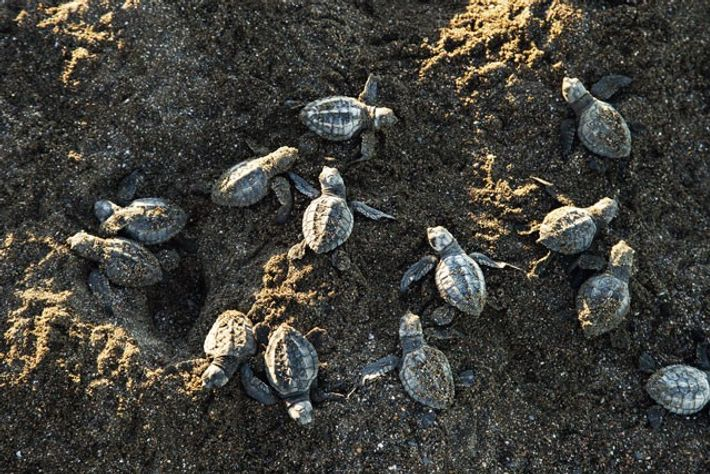 Olive Ridley turtle hatchlings, Ostional Wildlife Refuge.