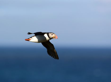 Puffed out puffins struggle to breed, says Oxford researcher