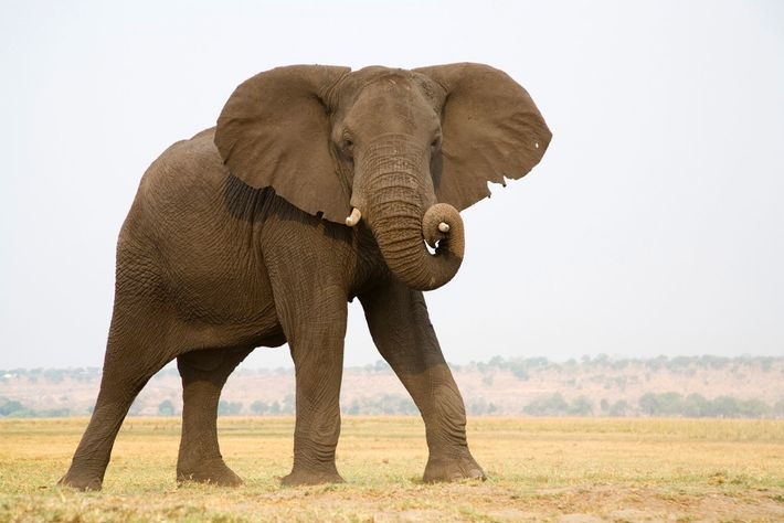 Chobe National Park, Botswana, provides a migration corridor for elephants to protected areas in the north ...