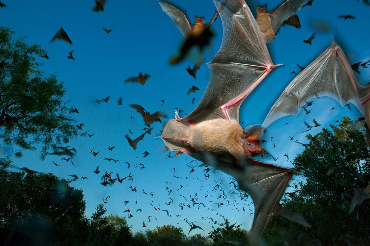 Mexican free-tailed bats fly out of the Eckert James River Bat Cave Preserve in Texas to ...