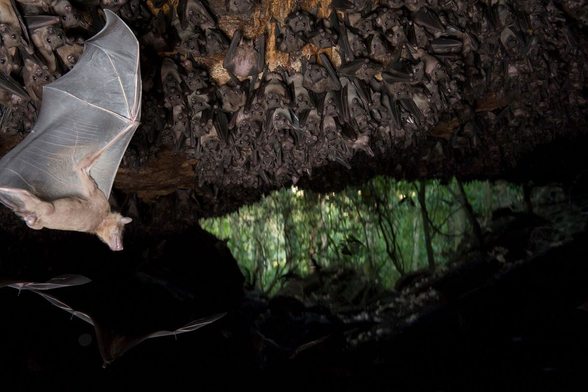 Egyptian fruit bats hang from the ceiling of a cave in Uganda's Maramagambo Forest. The bats ...