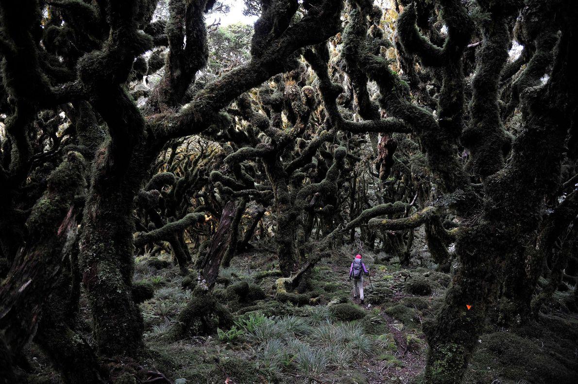 A hiker moves through a dark forest along the Tararua Ridge in New Zealand.