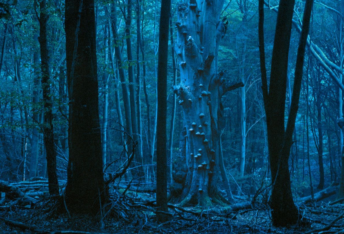 A blue light settles over a gloomy forest in the Reinhardswald Mountains. The German region is ...