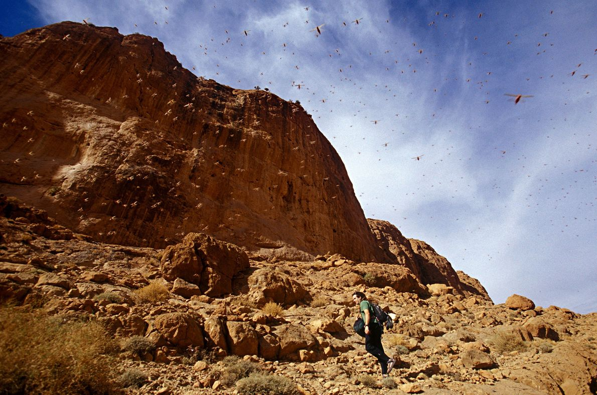 Locusts swarm above a hiker in Morocco's Todgha Gorge—a group of river canyons in the High ...