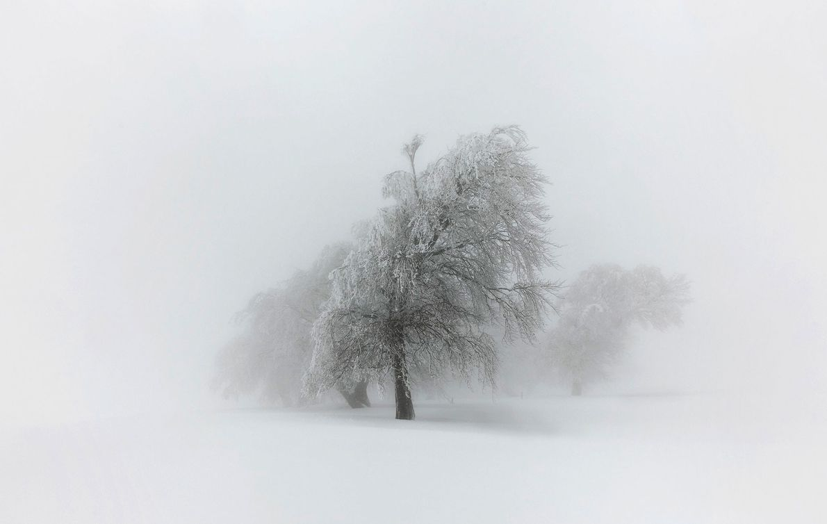 Wind-shaped beech trees heavy with snow slump on Mount Schauinsland in Germany's Black Forest.
