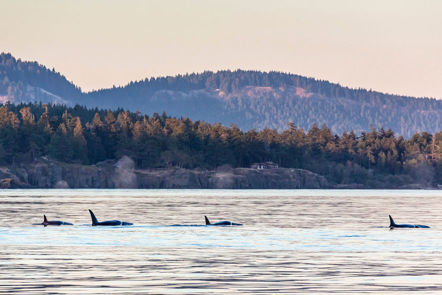 Southern resident killer whales travel through Haro Strait near Saturna Island in British Columbia, Canada.