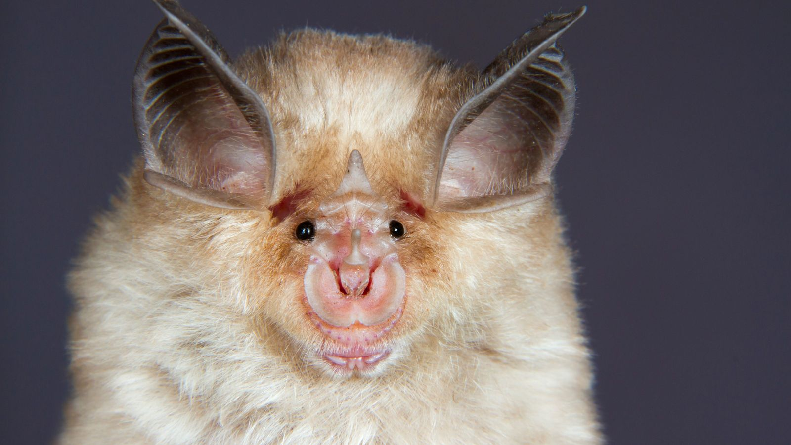 A Mediterranean horseshoe bat (Rhinolophus euryale). This family of bat species take their name from the ...