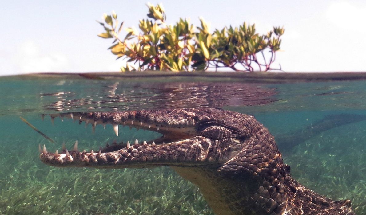 I've been diving with sharks many times, but this was my first time snorkeling with crocodiles, ...